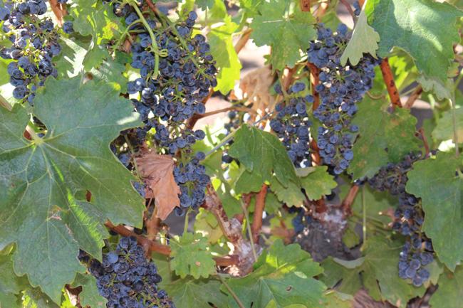 coisas que amamos diário de viagem chile santiago vinicola concha y toro santa rita 7